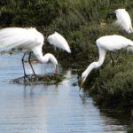 Snowy Egrets & Great Egrets