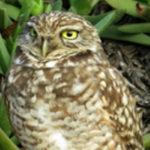 Ballona Burrowing Owl